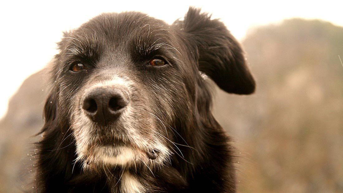 Los cuidados de un perro anciano