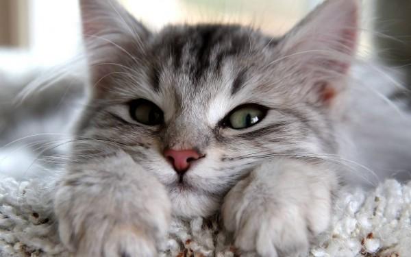 como cuidar las uñas de tu gato